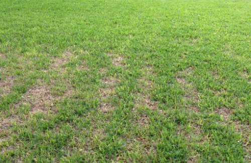 fungus and disease in florida lawns st augustine grass